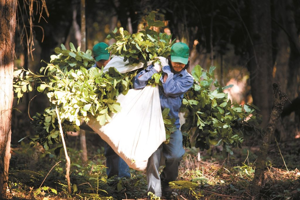 With startup funding from RSF Social Finance, Guayaki pays farmers in the South American rain forests to plant and harvest yerba mate for organic energy drinks. The plants accelerate regrowth of the rain forest, while workers earn certified fair wages. (Image © Guayaki Brand Yerba Mate)